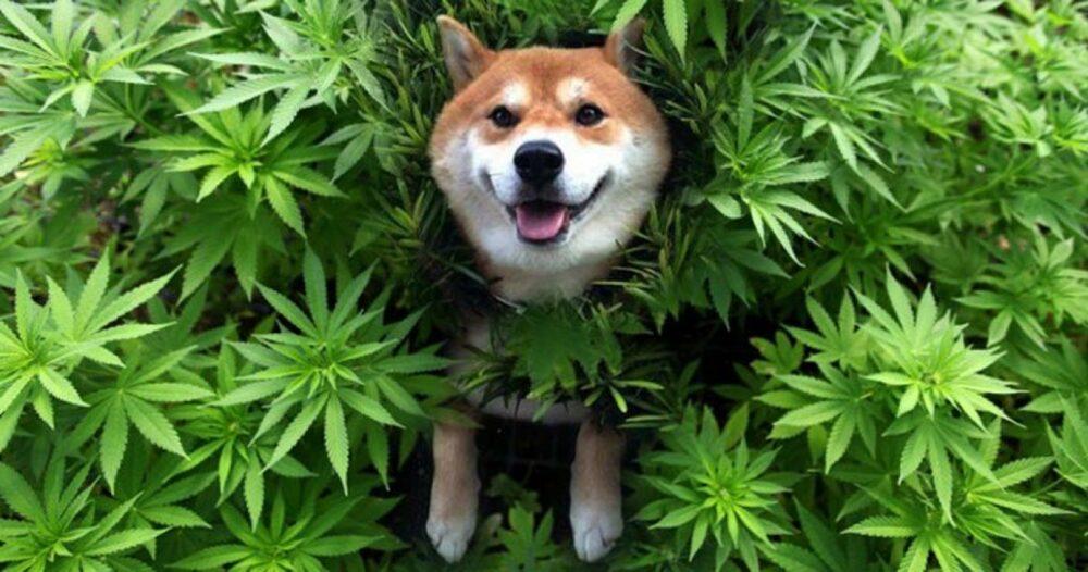 CBD for Healthy Dog